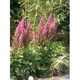 Astilbe chinensis Purpurlanze