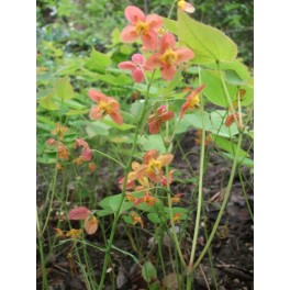 Epimedium warleyense Orange Königin