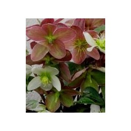 Helleborus nigercors Candy Love