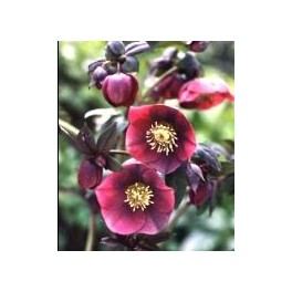 Helleborus orientalis Red Lady