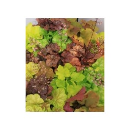 Collection de 5 Heuchera