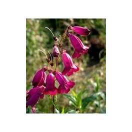 Penstemon hybride Rich Ruby