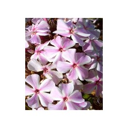 Phlox paniculata All in One