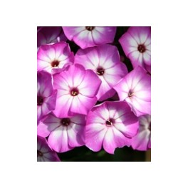 Phlox paniculata Purple Eye Flame