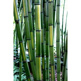 Bambou Phyllostachys vivax Huangwenzhu