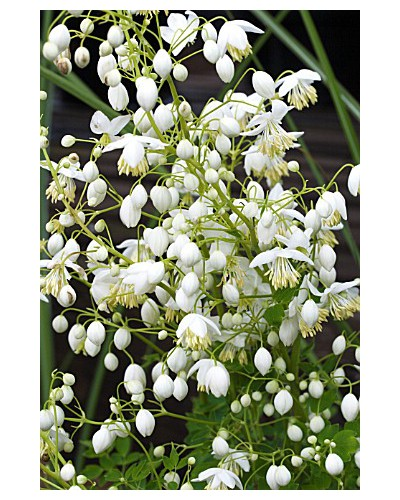 Thalictrum delavayi Splendide White