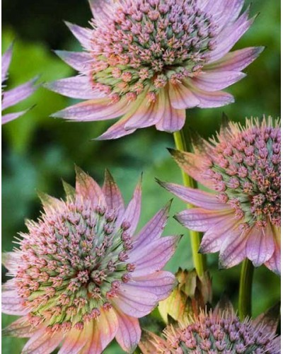 Astrantia major Florence