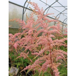 Astilbe arendsii Bressingham Beauty