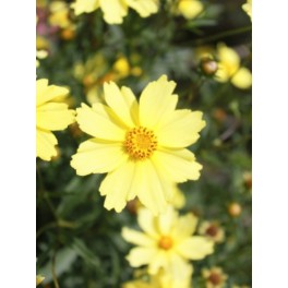 Coreopsis Full Moon