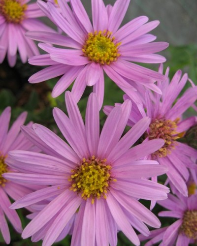 Aster amellus Pink Zenith