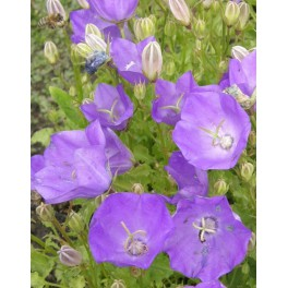 Campanula carpatica Clips blue