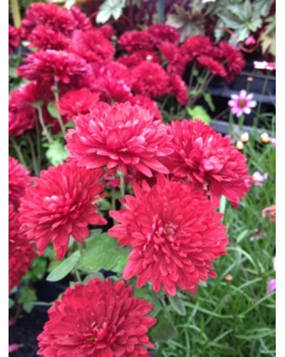 Chrysanthemum Ruby Mound