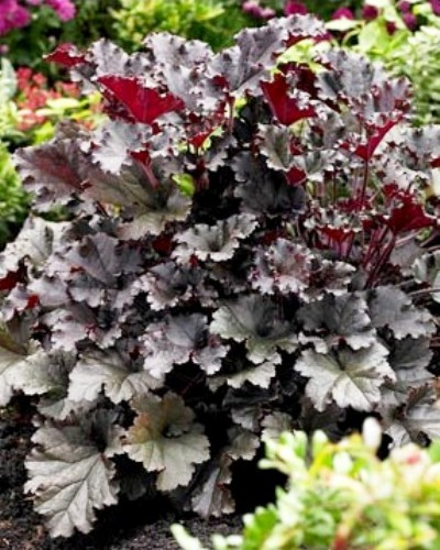 Heuchera dark secret plantes vivaces le ch tel des vivaces for Plantes et arbustes vivaces