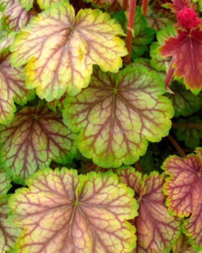 Heuchera Gaugin