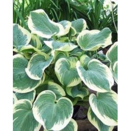Hosta Barbara Ann