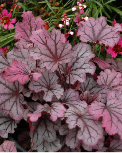 Heuchera Little Cutie Sugar Berry