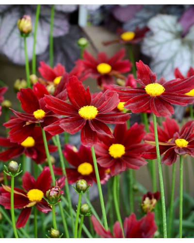 Coreopsis li'l bang Red Elf