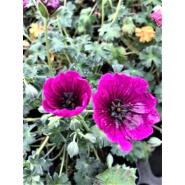 Geranium cinereum Jolly Jewel Purple