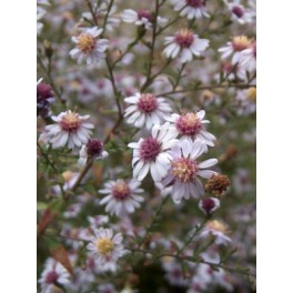 Aster lateriflorus Lady in black