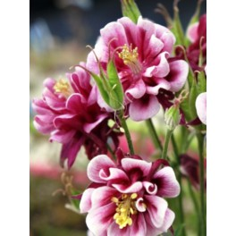 Aquilegia Winky Double Red-White