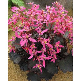 Saxifrage fortunei Black Ruby