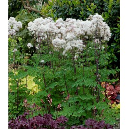 Thalictrum nimbus White